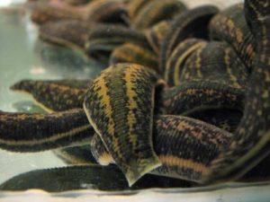 hacamat malzemeleri hacamat kupası sülük satışı sülük çiftliği tibbi sülük medicinalleeches leechturkey turkeyleeches